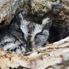 Screech Owls: Birds of Prey