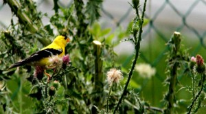 A wild thistle attracts native birds.